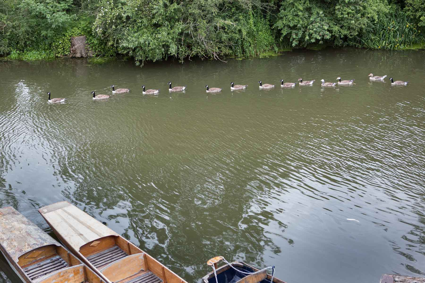Line of geese swimming on the river Cherwell, passing near the punts